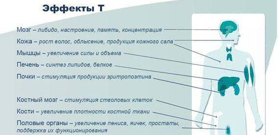 Функции тестостерона