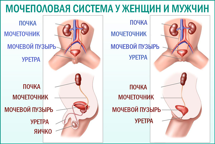 Мочеполовая система: строение и различия у мужчин и женщин