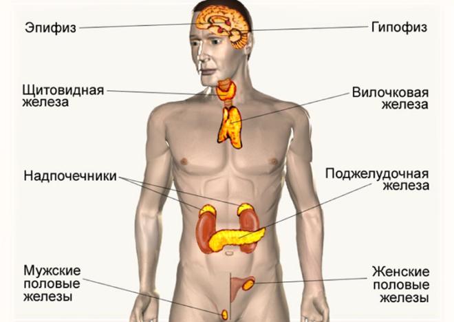 Вилочковая железа