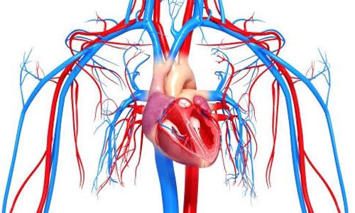 сердечная система