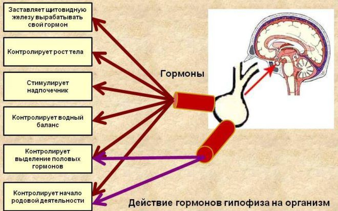 Функции гипофиза