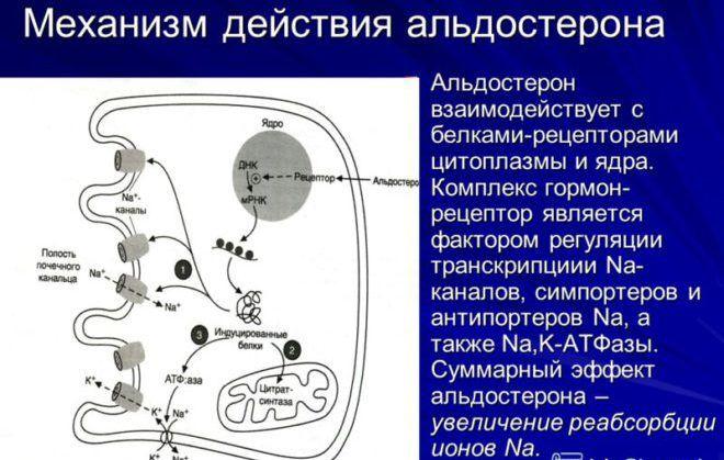 Механизм действия альдостерона