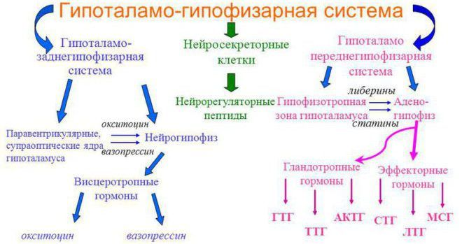 Гипоталамо-гипофизарная