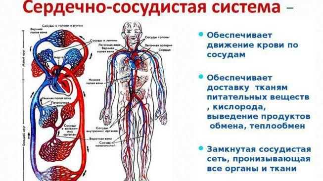 Сердечно-сосудистую систему
