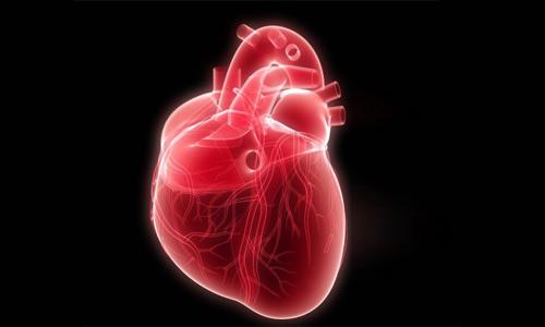 сердце важный орган