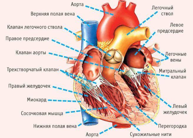 Сердечные желудочки