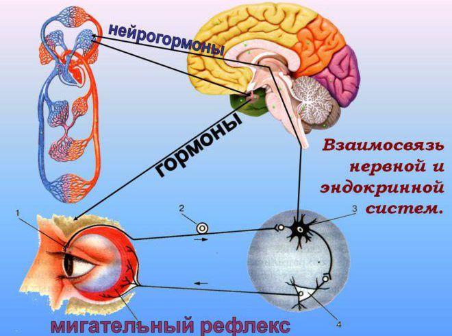 Нейрогормоны