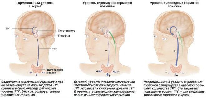 Как работает щитовидная железа