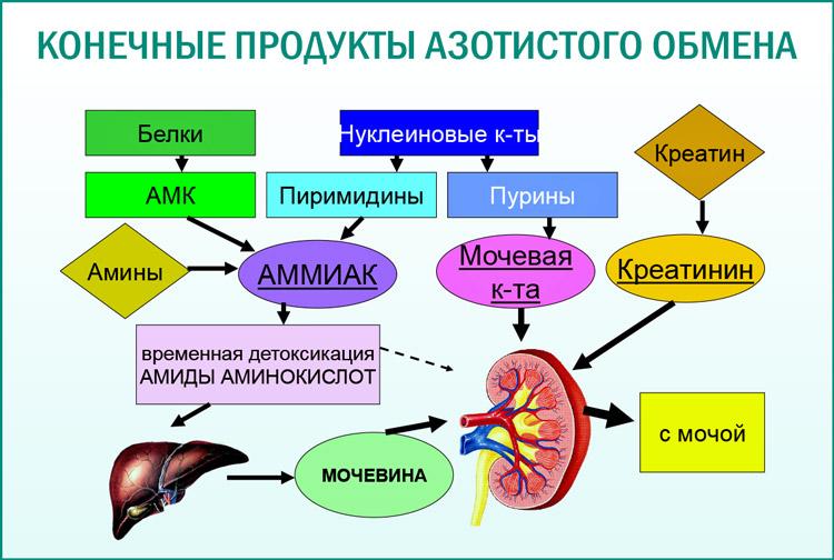 Образование мочевины