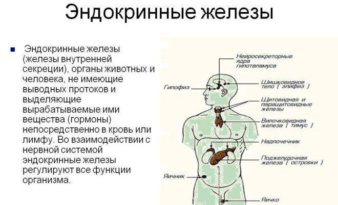 Эндокринная железа