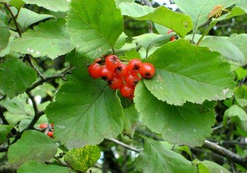 плоды боярышника от давления