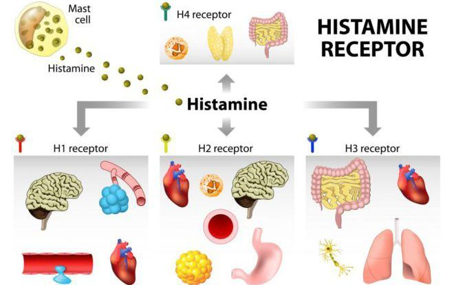 Виды рецепторов гистамина