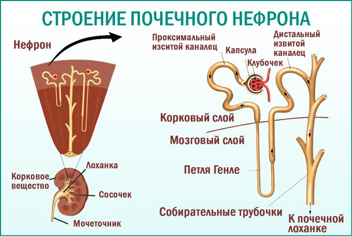 Нефрон почки, его строение и функции
