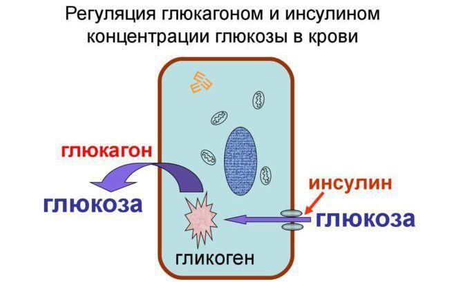 Глюкагон и Инсулин