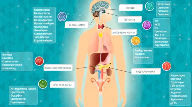 Где образуются гормоны