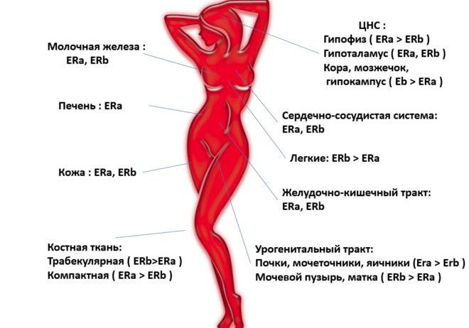 Локализация различных типов эстрогенов в органах и тканях